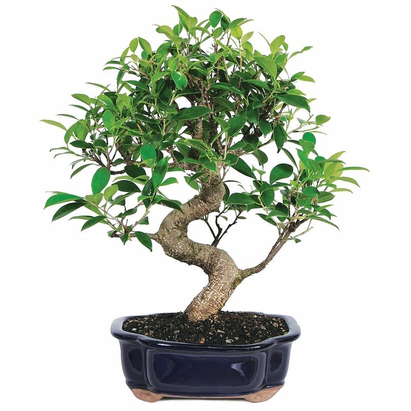 Ficus Indoor Bonsai Between Flowers Design Florist In Weston Fl Local Flower Delivery In Weston Fl 33326 Pembroke Pines Plantation Fl