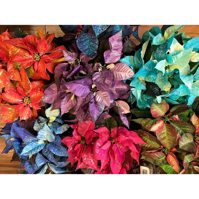Colored Poinsettias Bismarck Nd Florist Rustic Petals