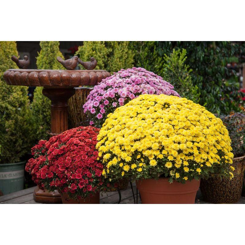 Fall Mum Plant Algona Florist Bloom Floral