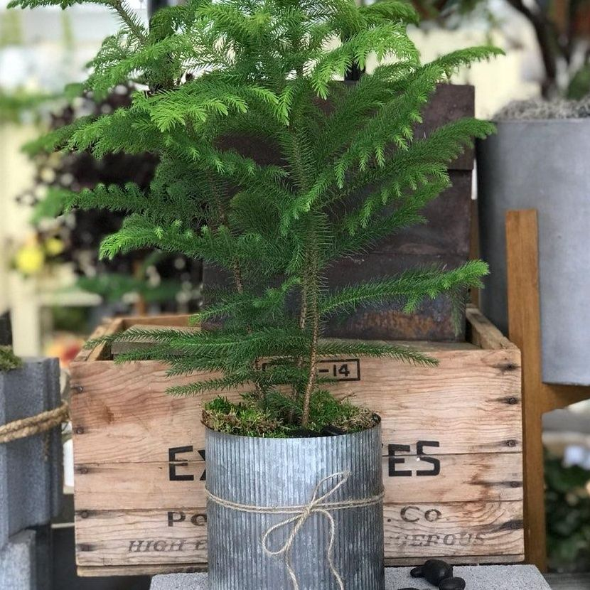 Plant Care (Norfolk Pine) Bentonville, AR Florist - Same Day ... on easter lily plant care, tulip plant care, asparagus fern plant care, marble queen plant care, maidenhair fern plant care, dragon tree plant care, confederate rose plant care, flowers plant care, areca palm plant care, chinese evergreen plant care, mango plant care, morning glory plant care, weeping fig plant care, boston fern plant care, jasmine plant care, trumpet vine plant care, boxwood plant care, african violet plant care, creeping fig plant care, paradise palm plant care,