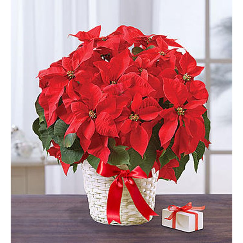 Poinsettia Plant Buds Flowers And Gifts Carrollton Oh Local Florist