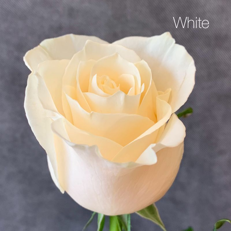 370b45b31 Premium Long-Stemmed Roses- Choose Your Color! Chevy Chase Florist