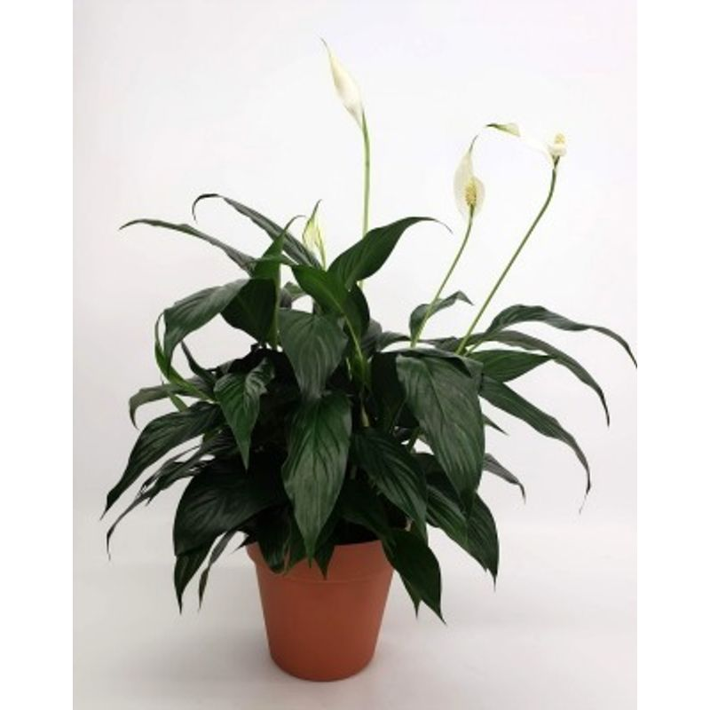 Peace Lily Pot Corum's Flowers & Gifts, serving Council Bluffs ... on pineapple plant house plant, dragon plant, black gold lily plant, zamiifolia house plant, croton house plant, peace lily plant benefits, problems with peace lily plant, artificial bamboo house plant, black bamboo potted plant, peace lily family plant, peace lily potted plant, classic peace lily plant, chinese evergreen house plant, marginata house plant, weeping fig house plant, peace plant brown leaves, holly house plant, white and green leaves house plant, funeral peace lily plant, droopy peace lily plant,