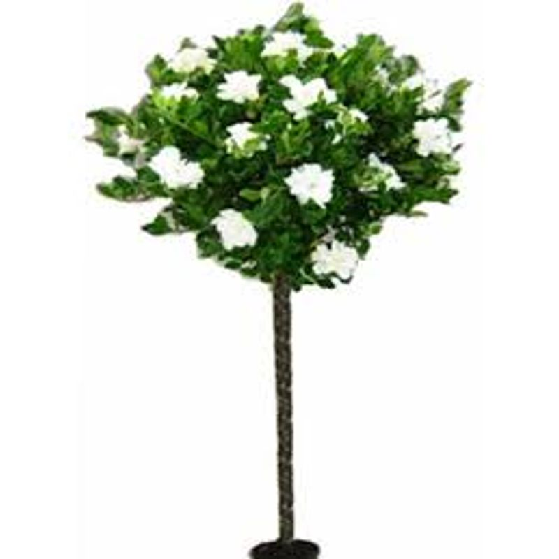 Gardenia Tree New Tazewell,Tazewell, TN | Eden Floral Design, Local on