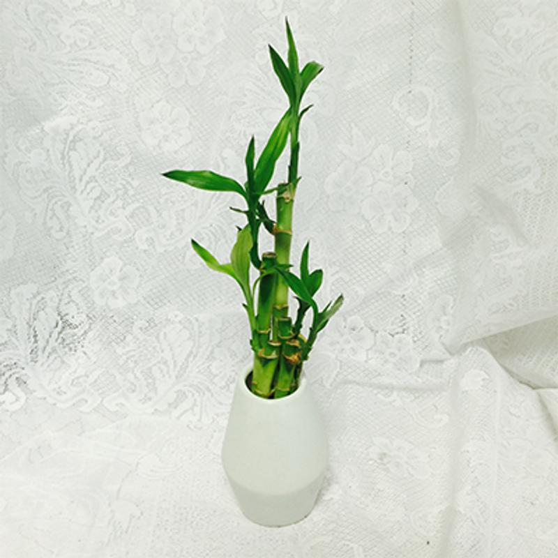 White Vase Bamboo Plant Indiana Florist Flower Gallery