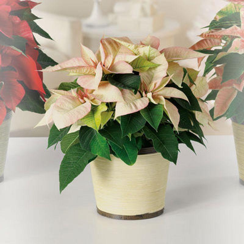 Cream Poinsettia Warren, MI 48092 Florist | Flowers and