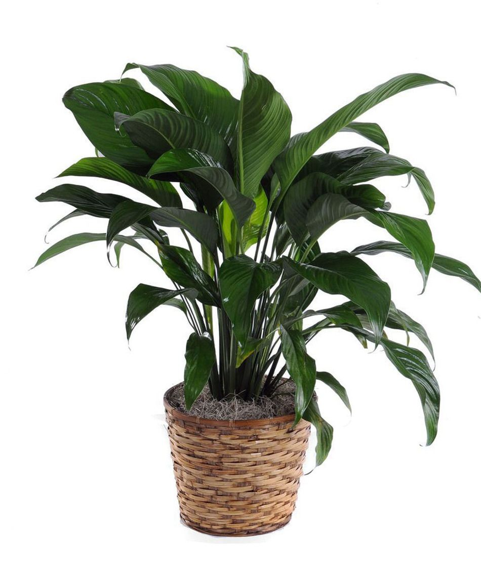 Peace Lily Local Flower Shop | Washington, DC - Galleria Florist on pineapple plant house plant, dragon plant, black gold lily plant, zamiifolia house plant, croton house plant, peace lily plant benefits, problems with peace lily plant, artificial bamboo house plant, black bamboo potted plant, peace lily family plant, peace lily potted plant, classic peace lily plant, chinese evergreen house plant, marginata house plant, weeping fig house plant, peace plant brown leaves, holly house plant, white and green leaves house plant, funeral peace lily plant, droopy peace lily plant,