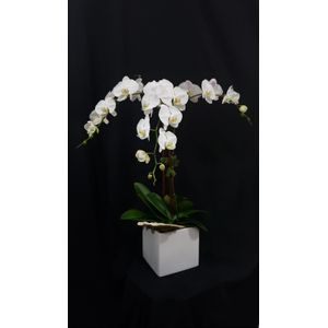 Fort lauderdale and palm beach premier orchid florist ideal tri afecto in fort lauderdale florida fort lauderdale premier orchid and flowers ideal mightylinksfo