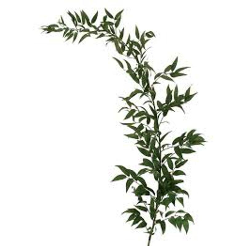 Greenery Italian Ruscus