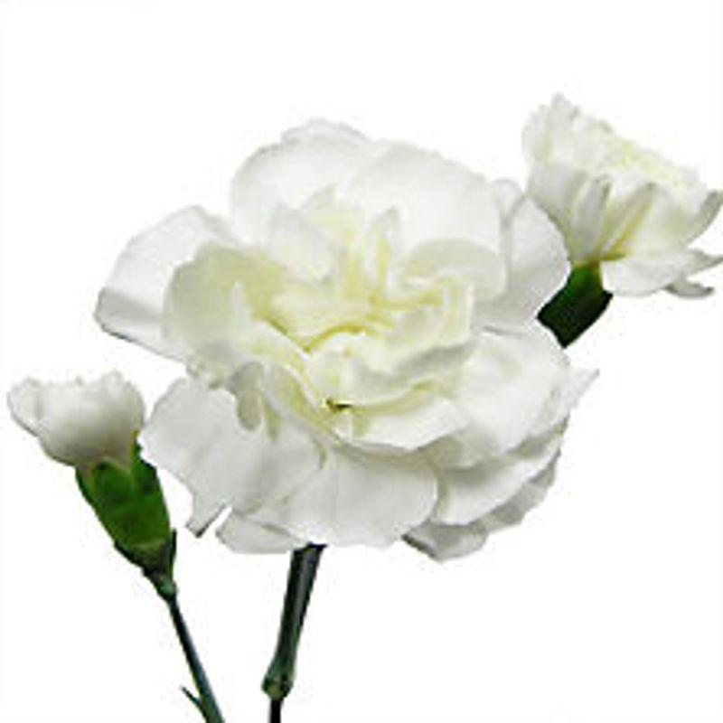 Carnations Miniature
