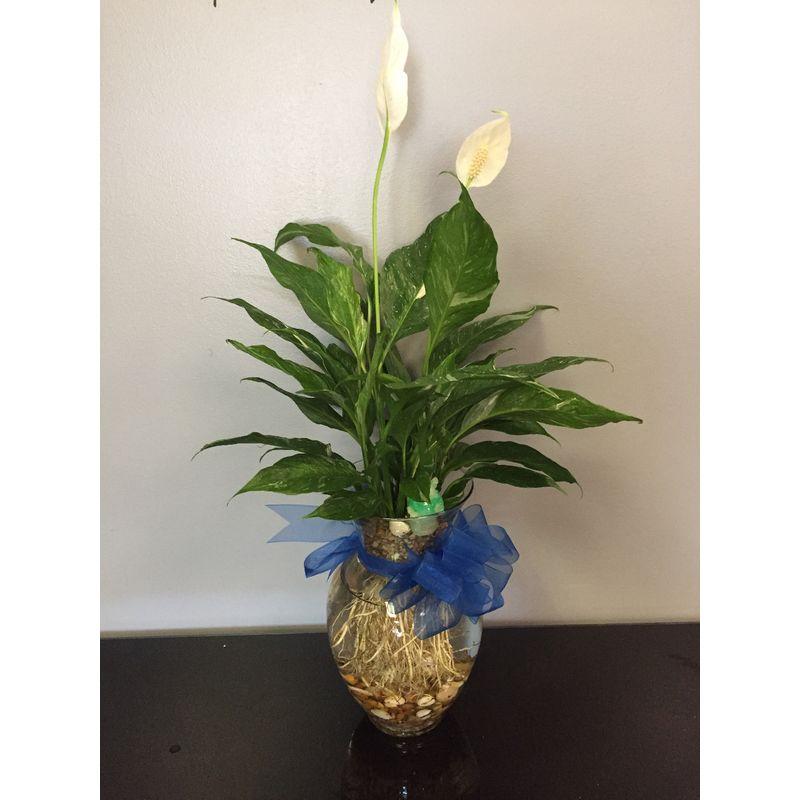 Aquaphonics Vase Planter W Betta Fish Nalys Floral Shop Madison