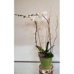 Phalaenopsis in Cohasset MA, Paul Douglas Floral Designs