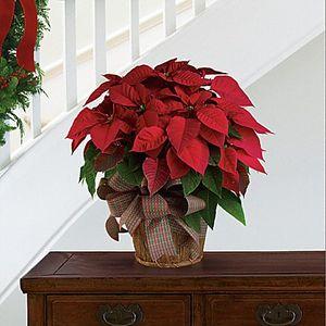 Christmas Plants Backyard Garden Florist Roseboro Nc