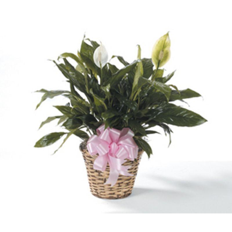 Peace Lily Backyard Garden Florist Roseboro Nc