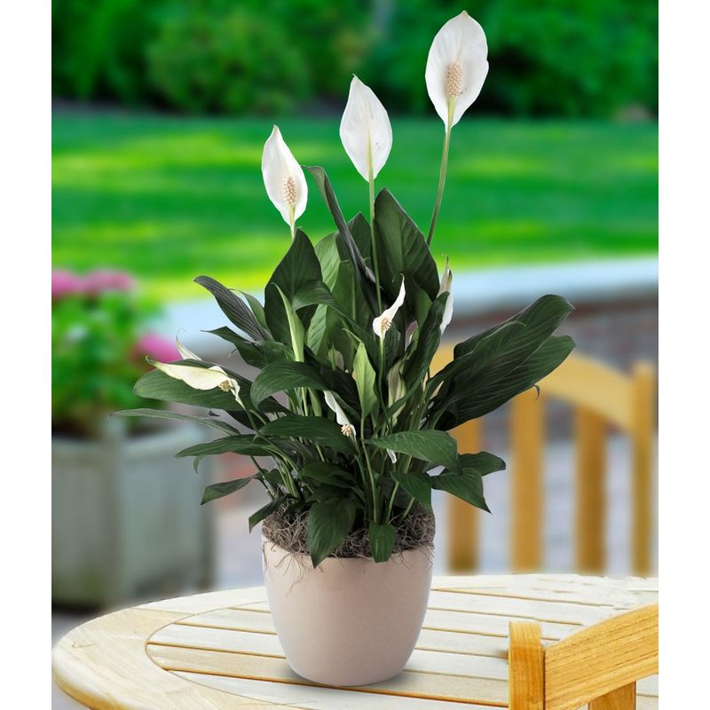 Medium Peace Lily Seven Sisters Florist - Cicero, IN 46034 on corn plant houseplant, bamboo palm houseplant, dragon tree houseplant, kentia palm houseplant, snake plant houseplant, kalanchoe houseplant, begonia houseplant, nephthytis houseplant, rubber plant houseplant, philodendron houseplant, purple wandering jew houseplant, ivy houseplant, cactus houseplant, rubber tree houseplant, schefflera houseplant, dieffenbachia houseplant, boston fern houseplant, peperomia houseplant, dracaena houseplant,