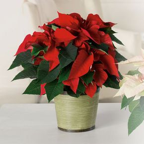 Christmas Plants Shearers Florist Hanover Pa