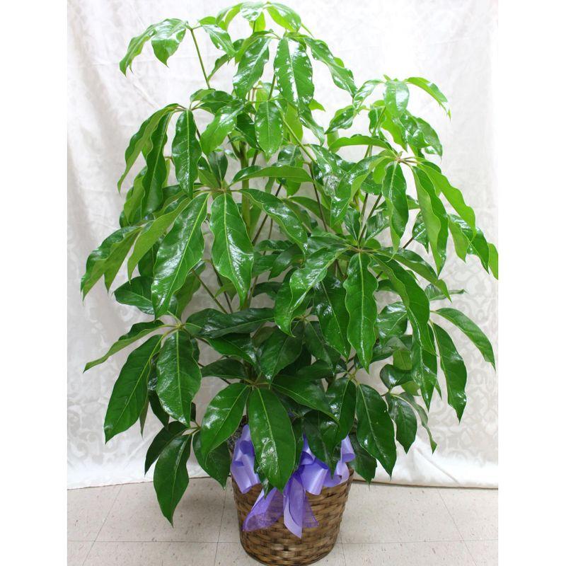 amate schefflera terra flora rosenberg richmond tx 77471