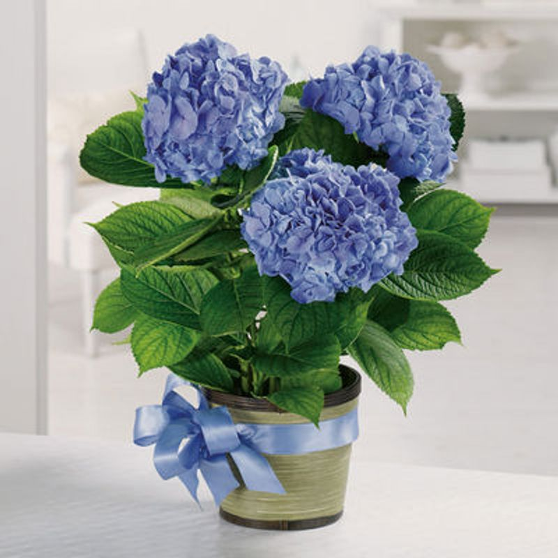 Heavenly Hydrangea North Vancouver Florist Willow Florists Same Day Flower Delivery North Vancouver Bc V7g1m9